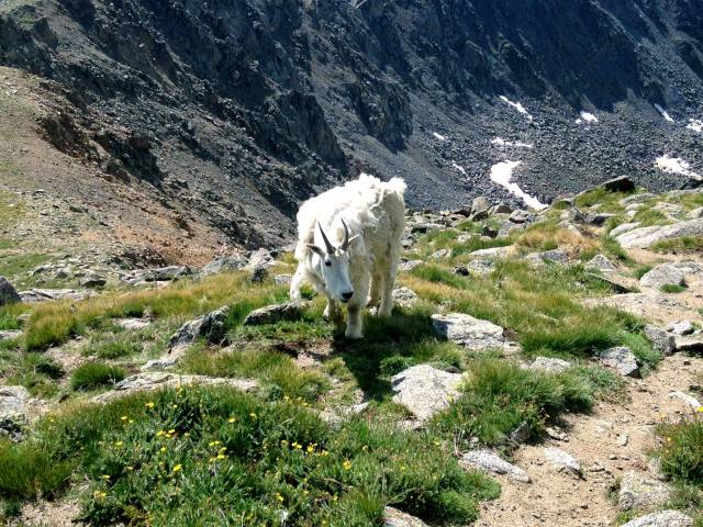 My first goat on a 14er, EVER.