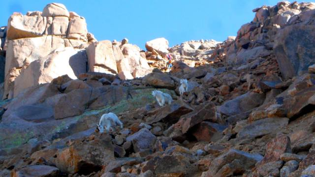 Goats made it look easy, but it was very gravely and loose.