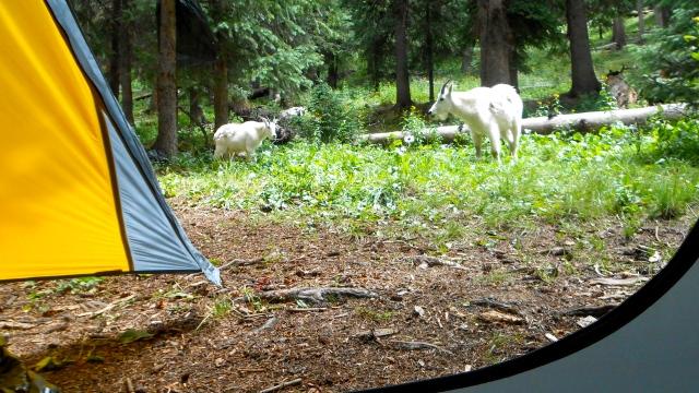 Goaty visitors!