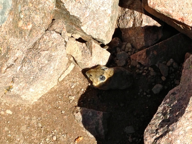 I made a friend on the summit of Mt. Eolus-- he popped out from under the rocks!